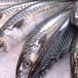 El verdel: un pescado económico y muy nutritivo