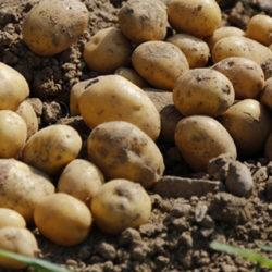 La patata nueva o temprana