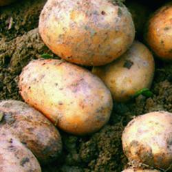 Patata de Álava, calidad superior