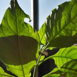 Mejorar la fotosíntesis, clave para el futuro de la seguridad alimentaria